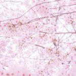 お花見何月が見頃?【北海道編】有名お花見スポットはここ!